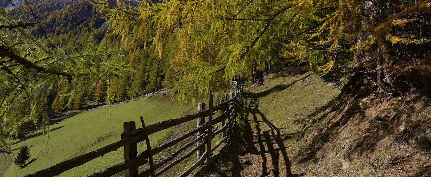 Mountain path with wooden fence and larches on a sunny day